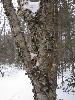 pinecone_tree